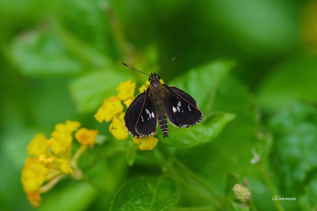 雞南山的白斑弄蝶