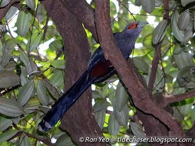 Chestnut-bellied Malkoha (Phaenicophaeus sumatranus)