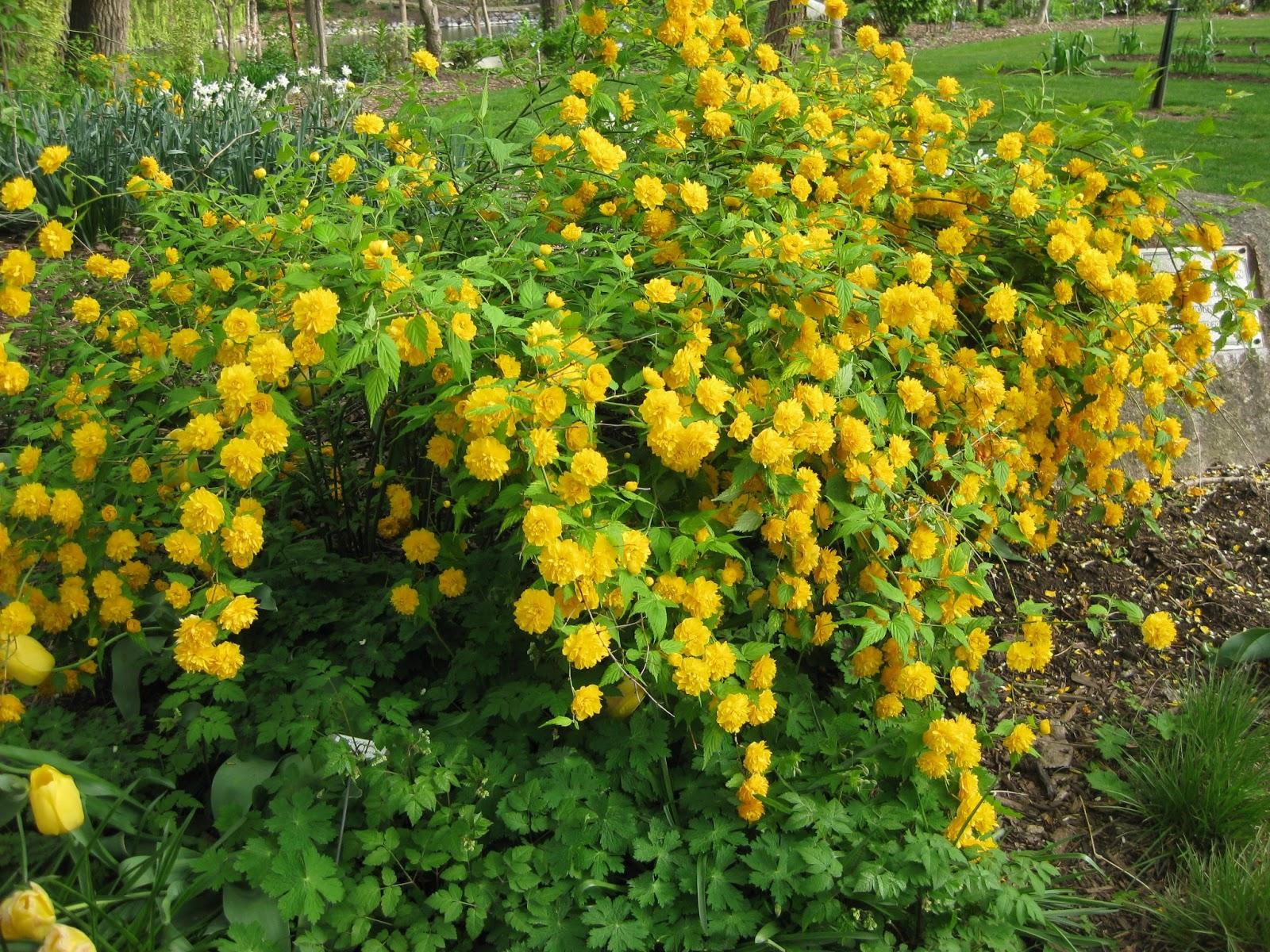 rotary botanical gardens hort blog kerrias for killer spring color. Black Bedroom Furniture Sets. Home Design Ideas