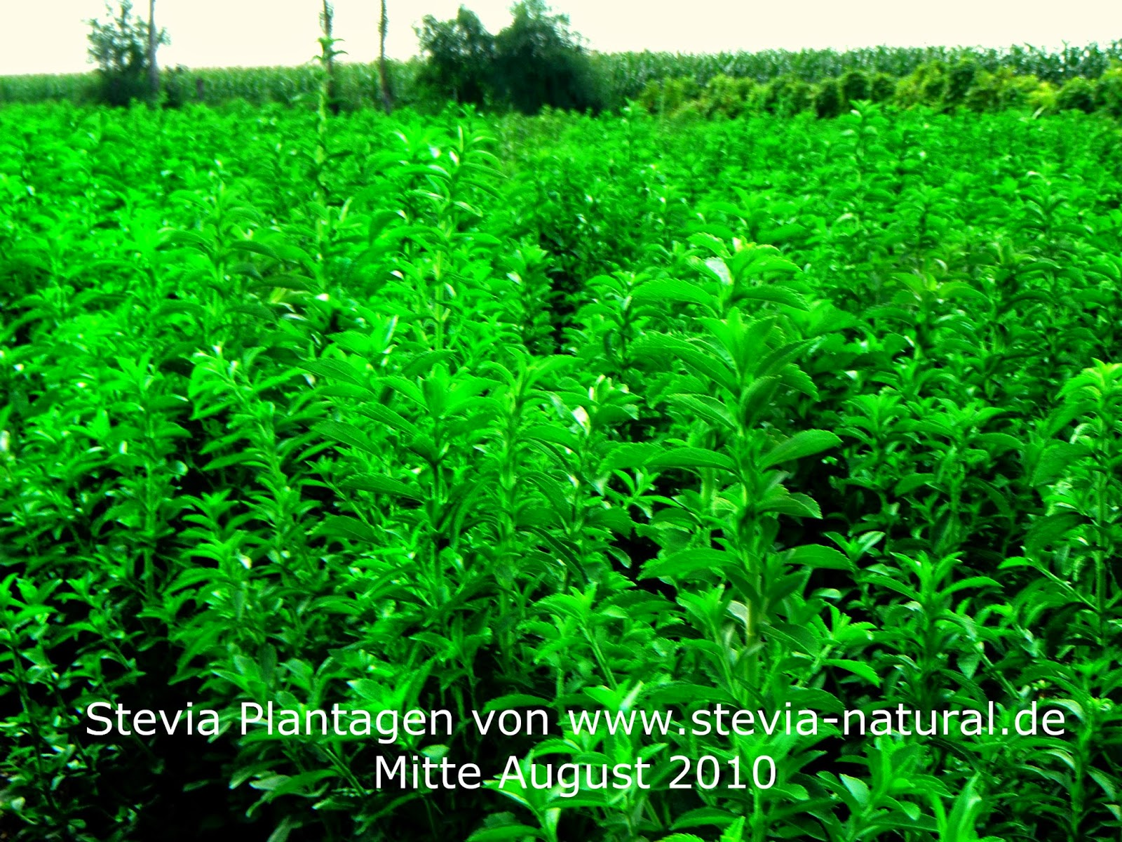 Stevia Anbau an Sonnenhang