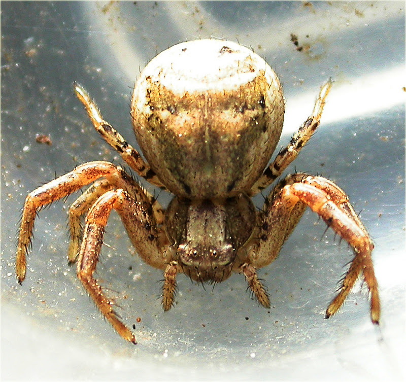 Arachnerds crab spiders xysticus sp for What does a garden spider look like