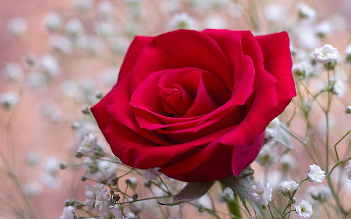 Flores estimulam o romance