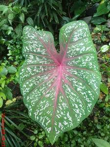 tanaman hias,keladi red star,karakteristik,perawatan