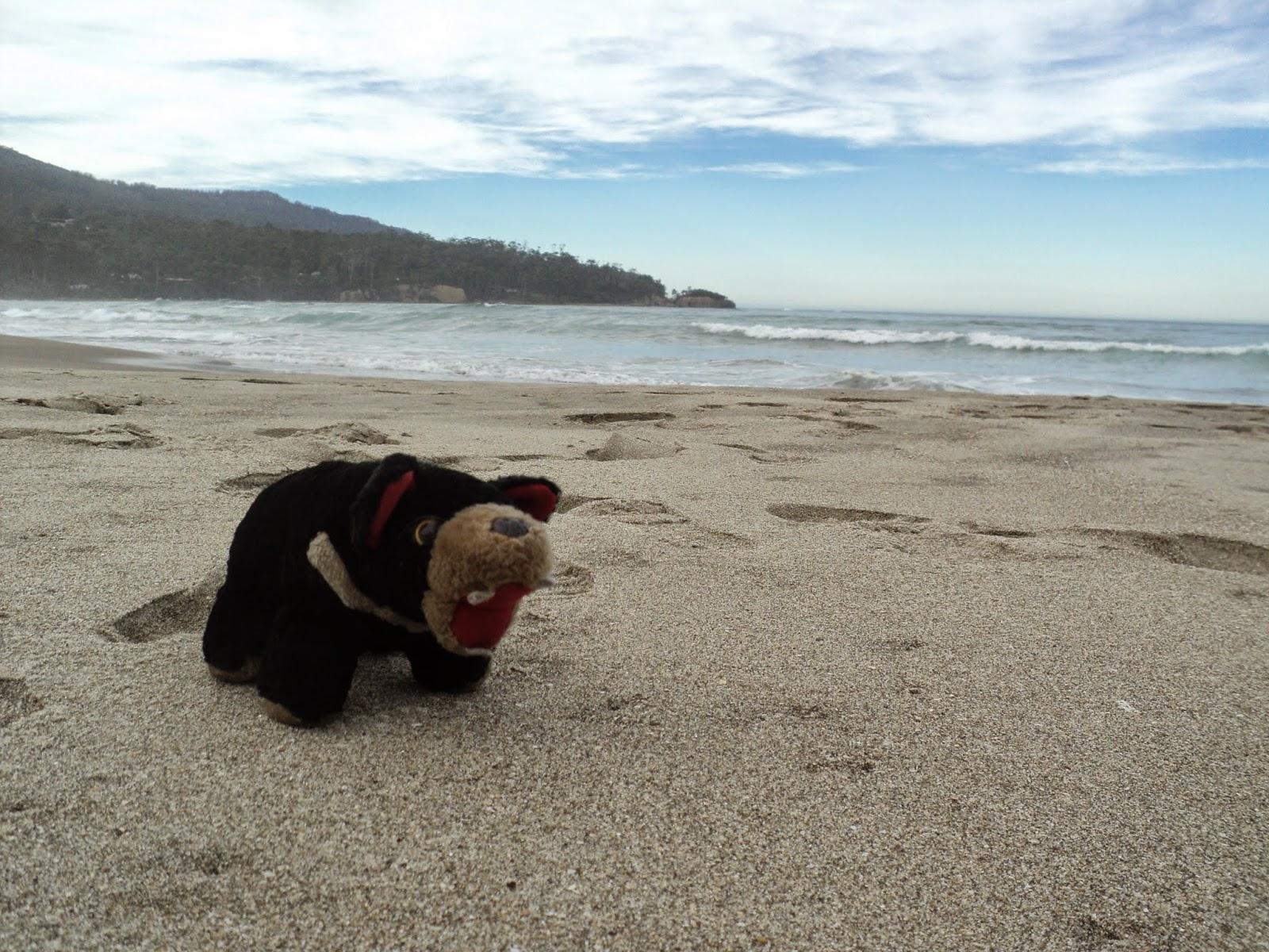 Tasmanian devil on the beach, Tasmania, Australia