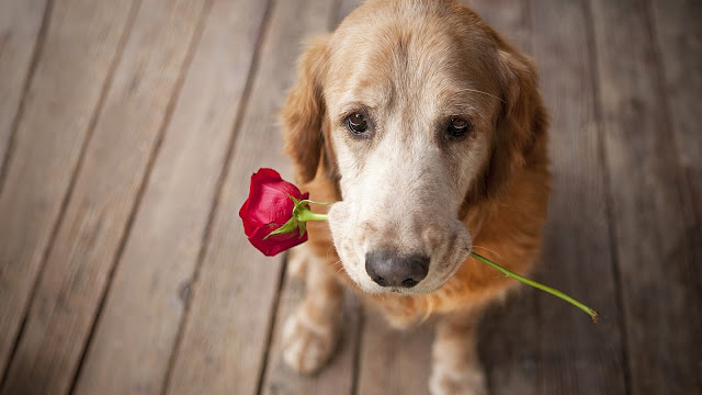 Dog Love Rose