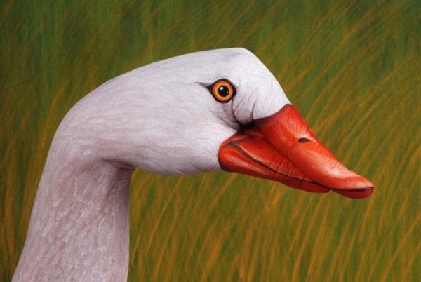 Swan-Coscoroba