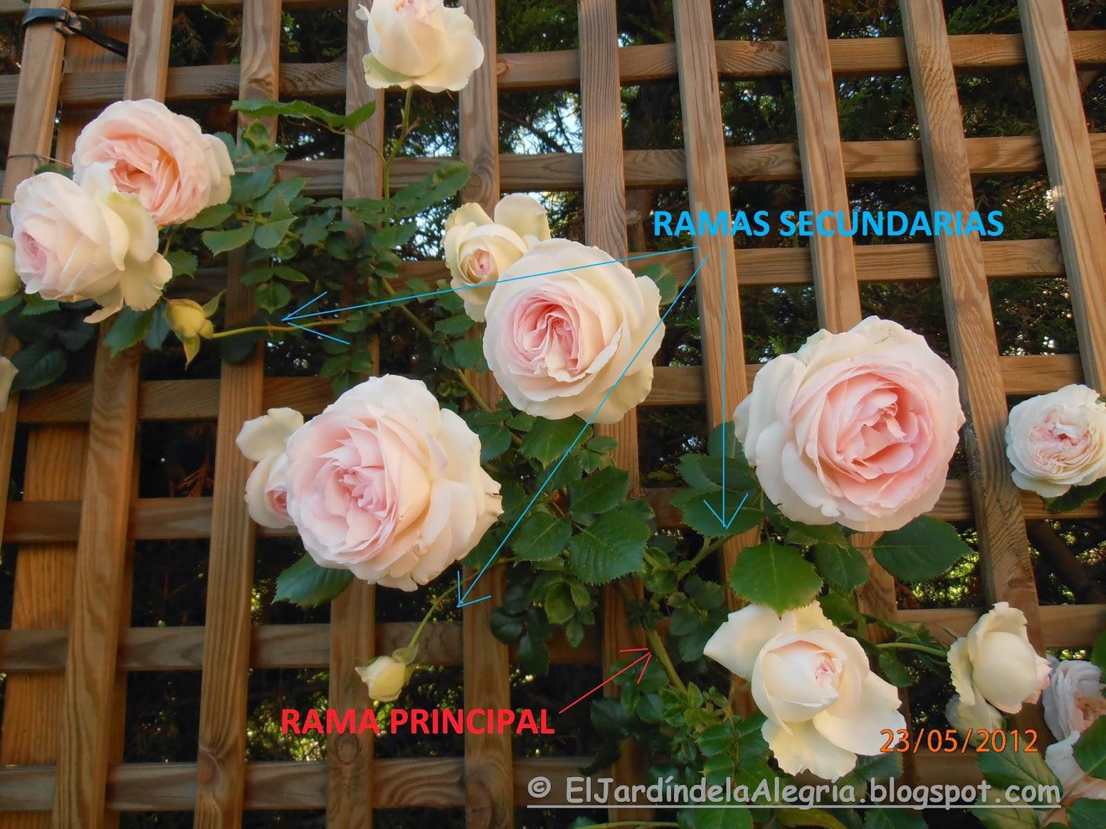 El Jardín De La Alegría Cómo Se Podan Los Rosales Trepadores