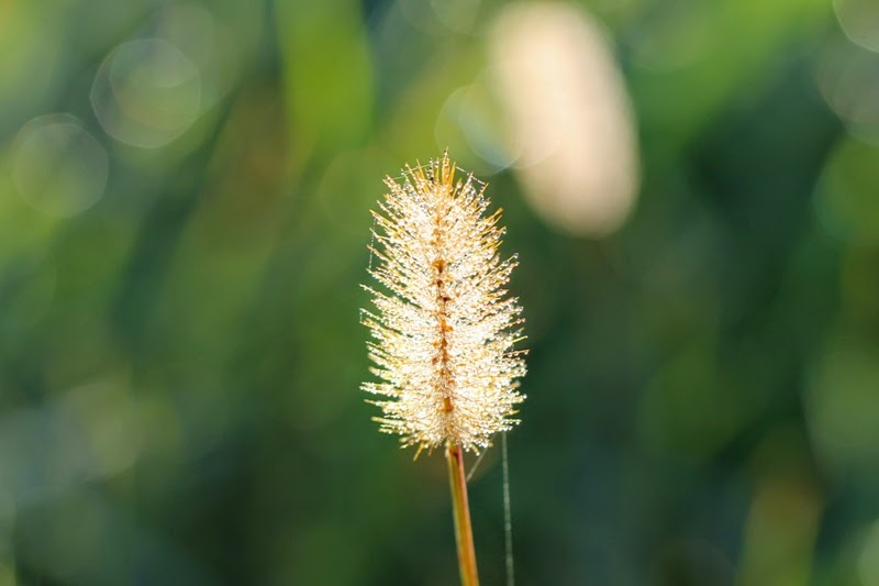 foxtail and dew