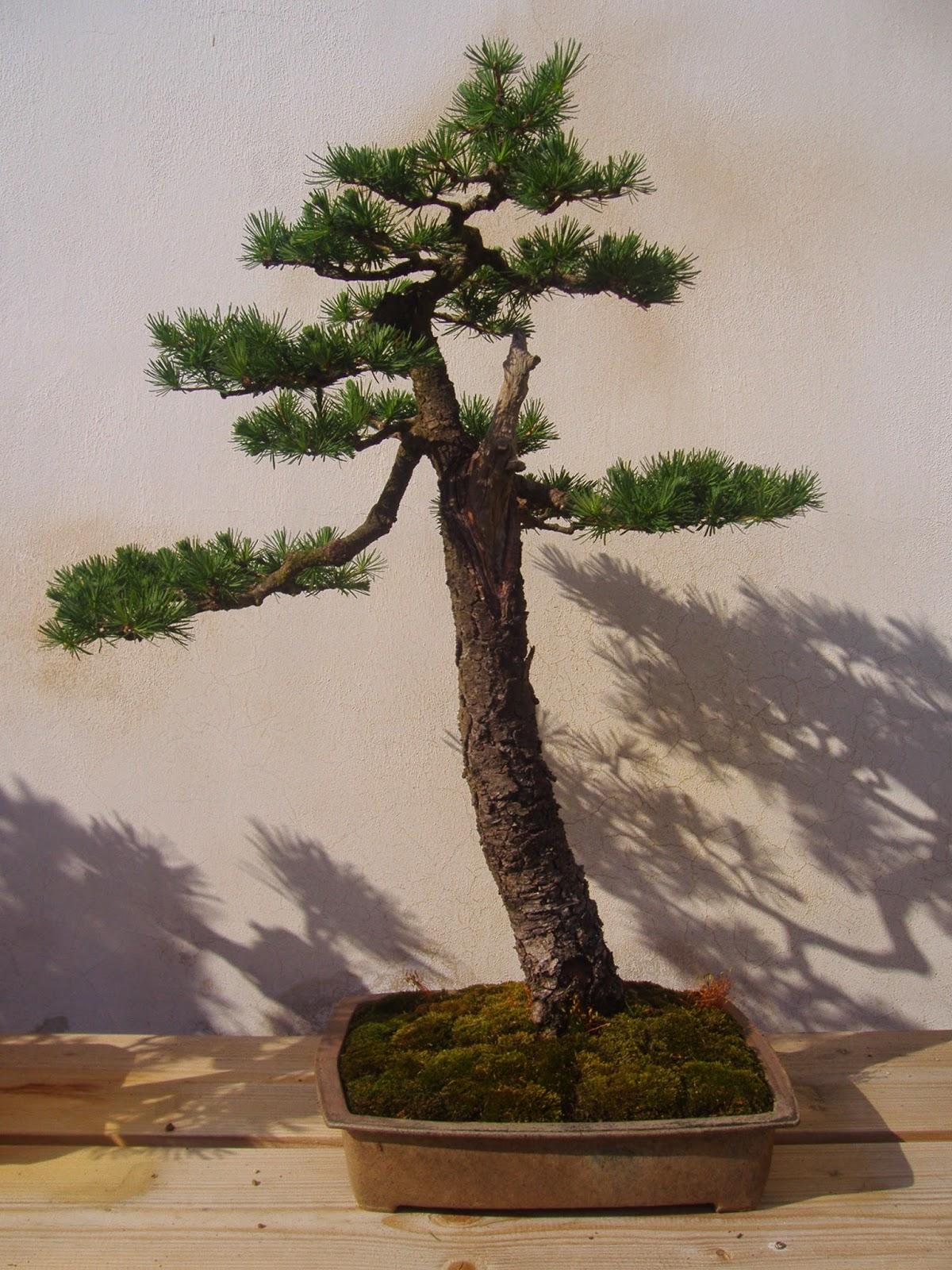 Bonsai Na Prodej II