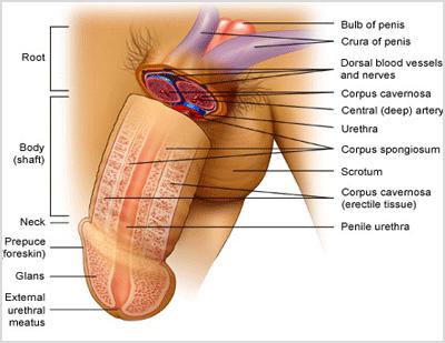 bagian bagian penis