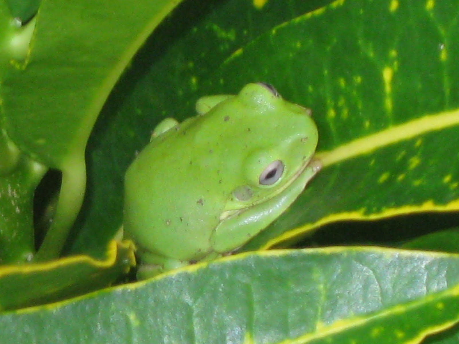 Poisonous Tree Frog Are Green Frogs Poisonous