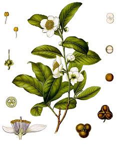 Chá, Camellia sinensis,  Thea sinensis