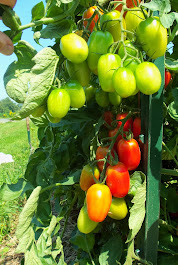 Check Out The 2014 Planet Whizbang Tomato Grow-Up Contest...