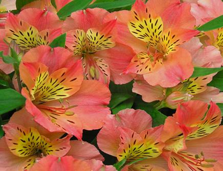 Piante e fiori alstroemeria for Piante e fiori