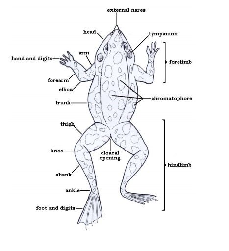 anatomy of a frog