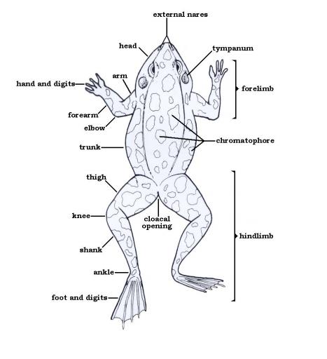 External anatomy of frog