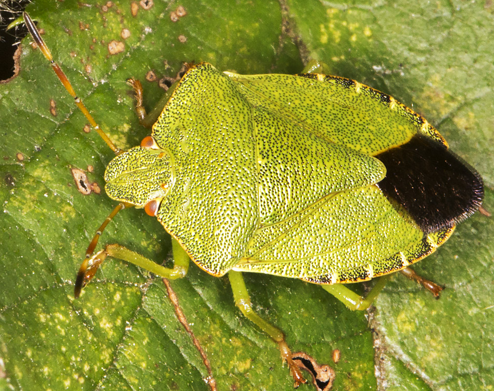 Green Shieldbug, Palomena prasina.  Hayes Common, 24 August 2014.