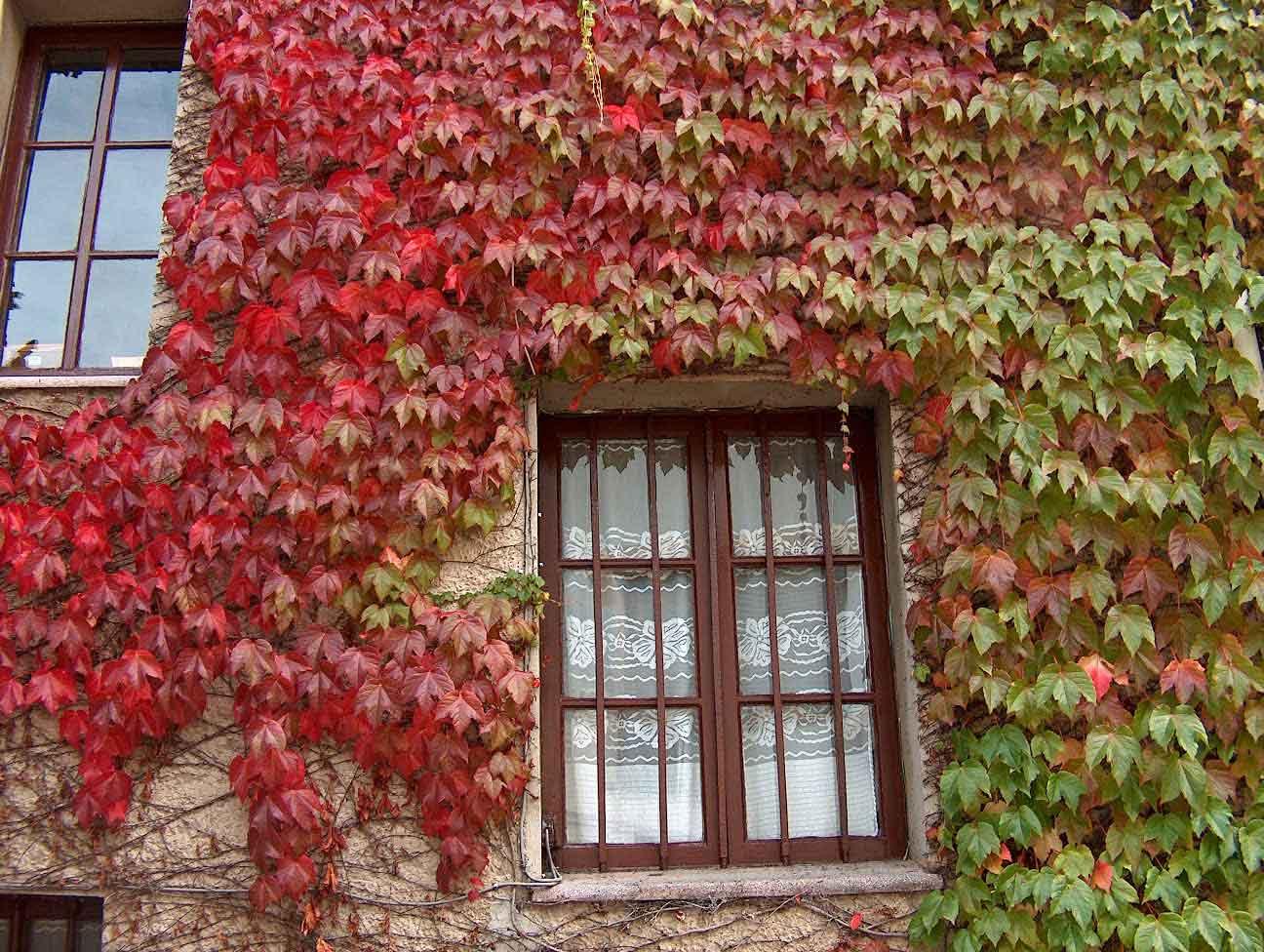 Arte y jardiner a plantas trepadoras en el jardin for Plantas trepadoras para muros