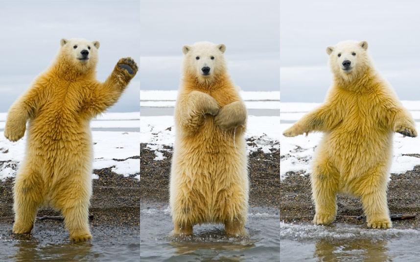 The Dancing Polar Bear!
