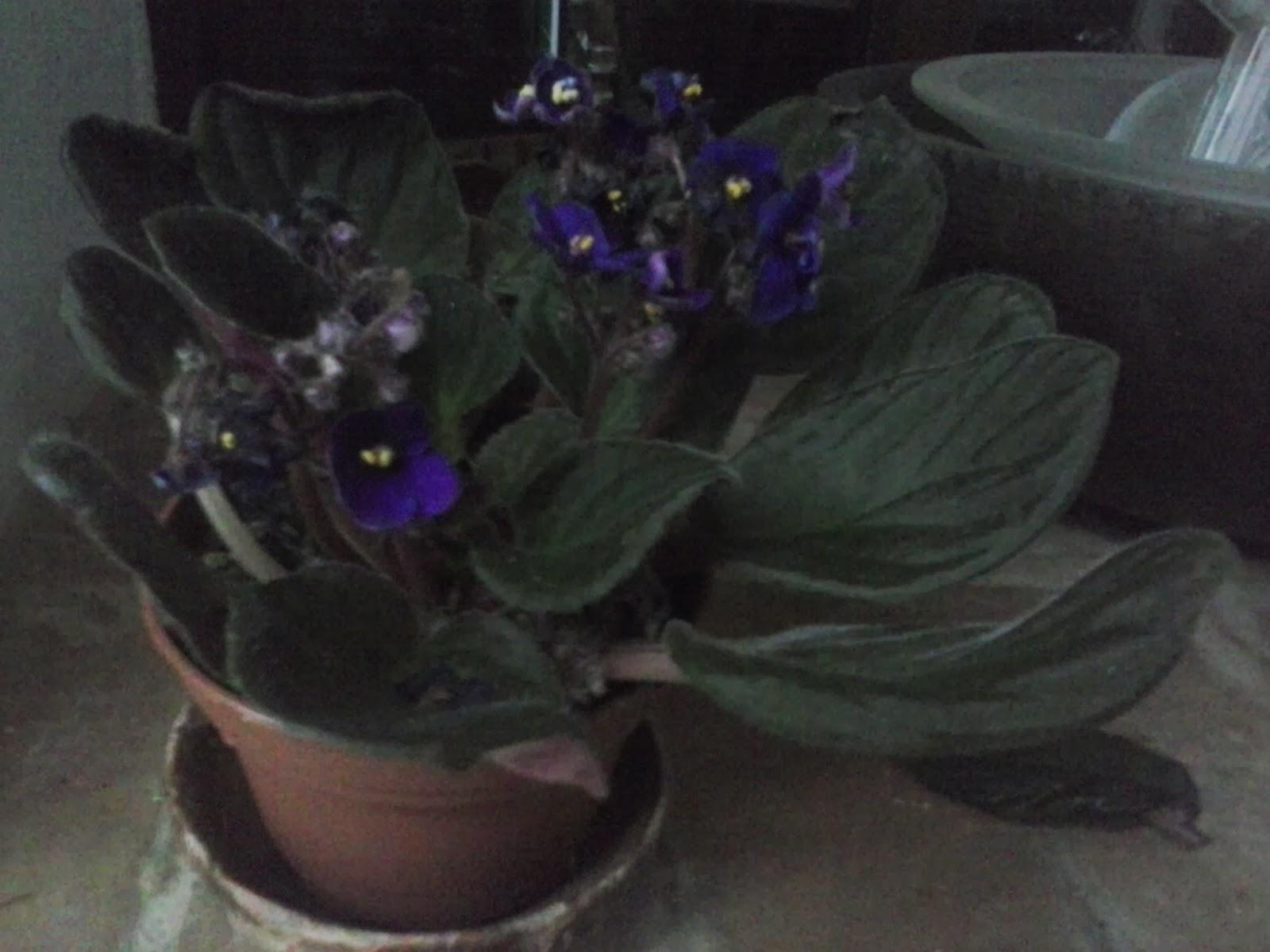 Fotos De Violetas Africanas Flores - Violeta africana Verdeesvida FICHAS FOTOS OFICINA