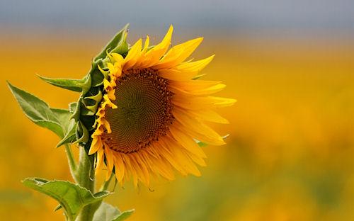 Girasol - Sunflower - De tournesol - Sonnenblume