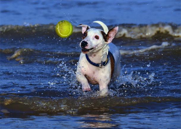 Ensine seu cachorro a brincar de buscar a bolinha para você
