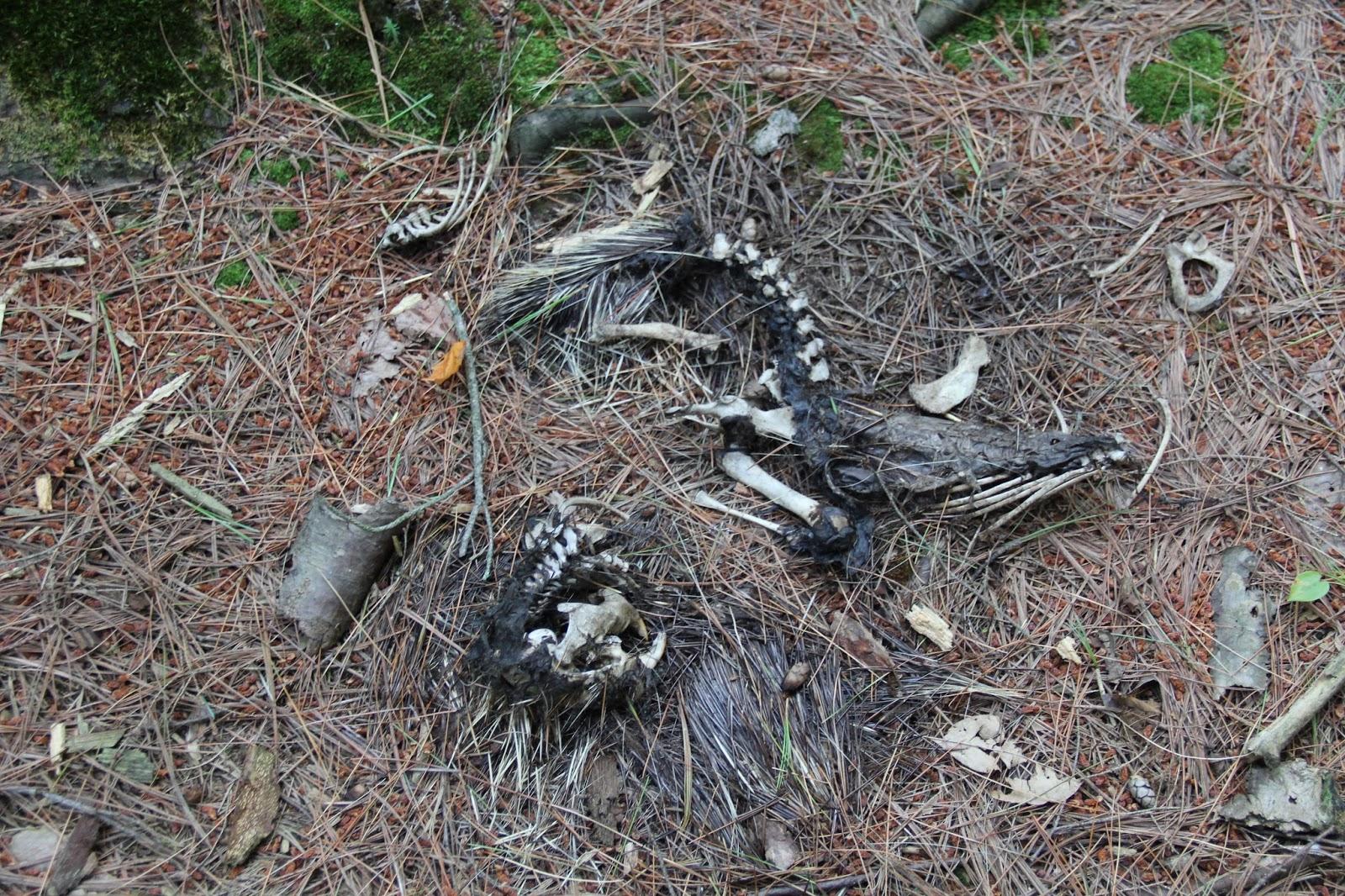how to find a porcupine den