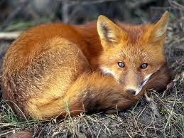 Red Fox pictures