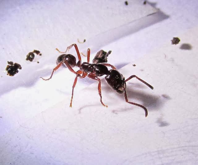 A Leptogenys ant worker