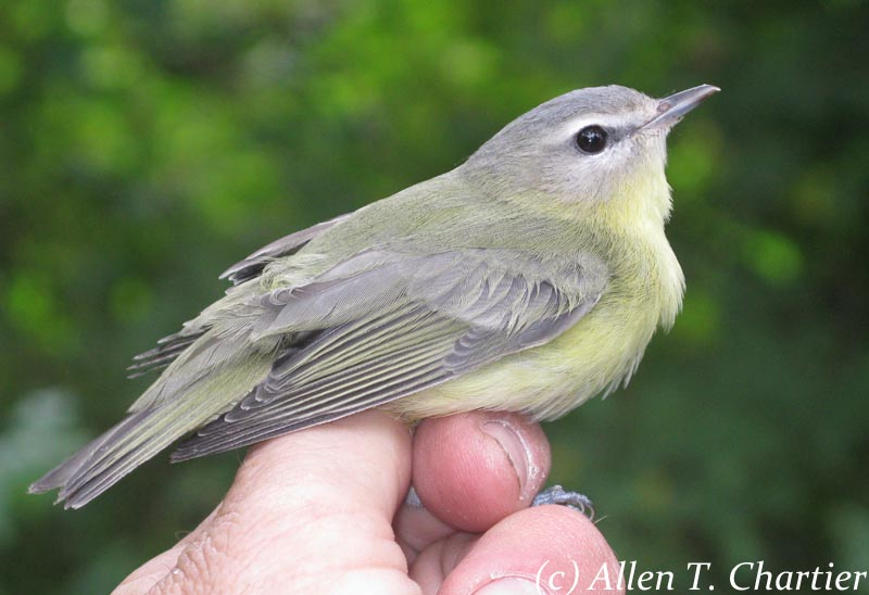 Yellow throated vireo fall - photo#12