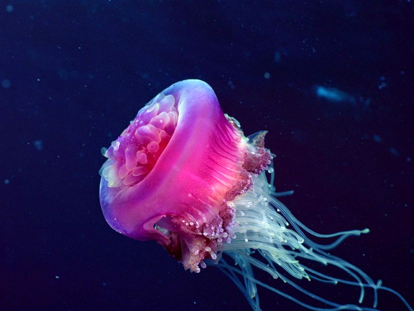 Jellyfish hd wallpapers earth blog for Fish in jellyfish
