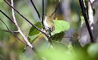 Gambar Burung Pleci Zosterops mysorensis