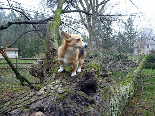 welsh corgi standing on fallen tree