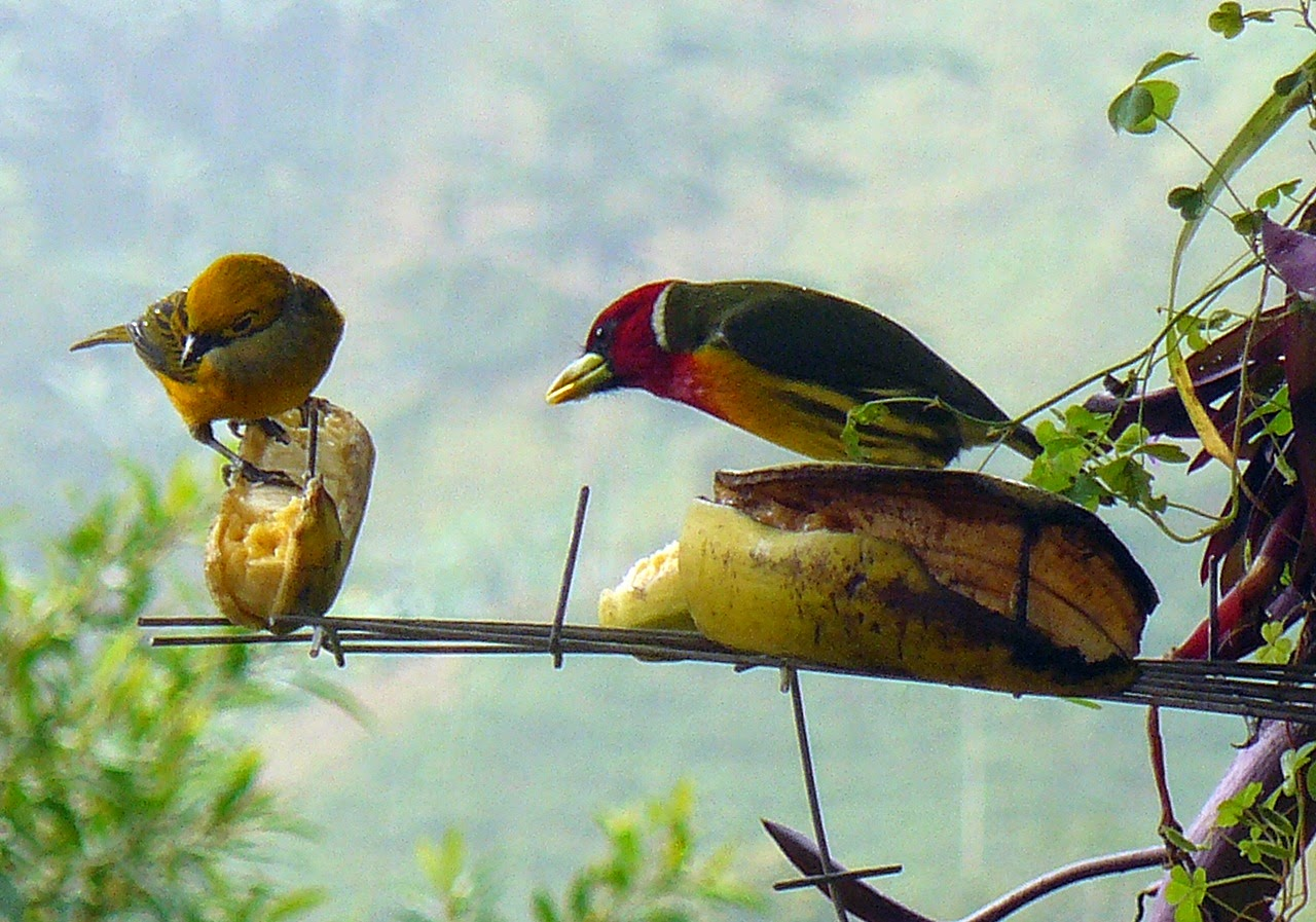 Yellow tanager and Red Barbet at feeder