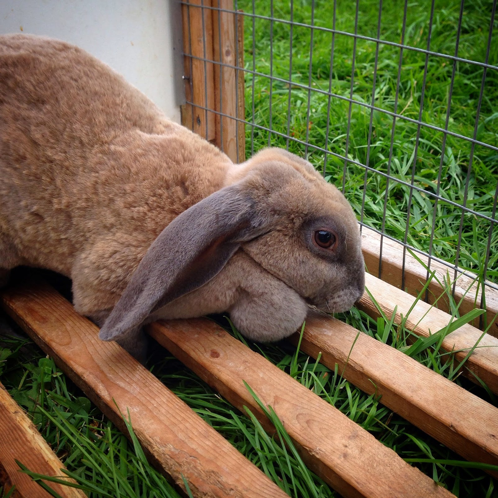 Hunny our Velveteen Lop rabbit in her mobile pen on pasture