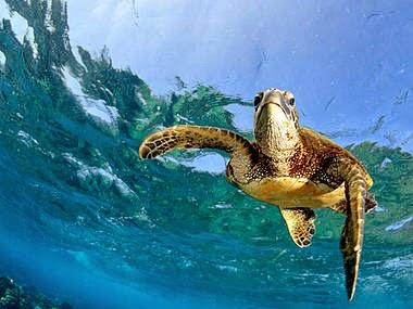 Green Turtle Seychelles