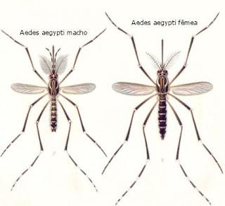 Mosquito da dengue macho e fêmea