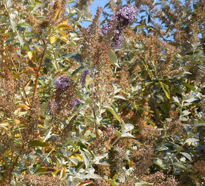 Lingering Butterfly Bush Flowers in November, , © B. Radisavljevic