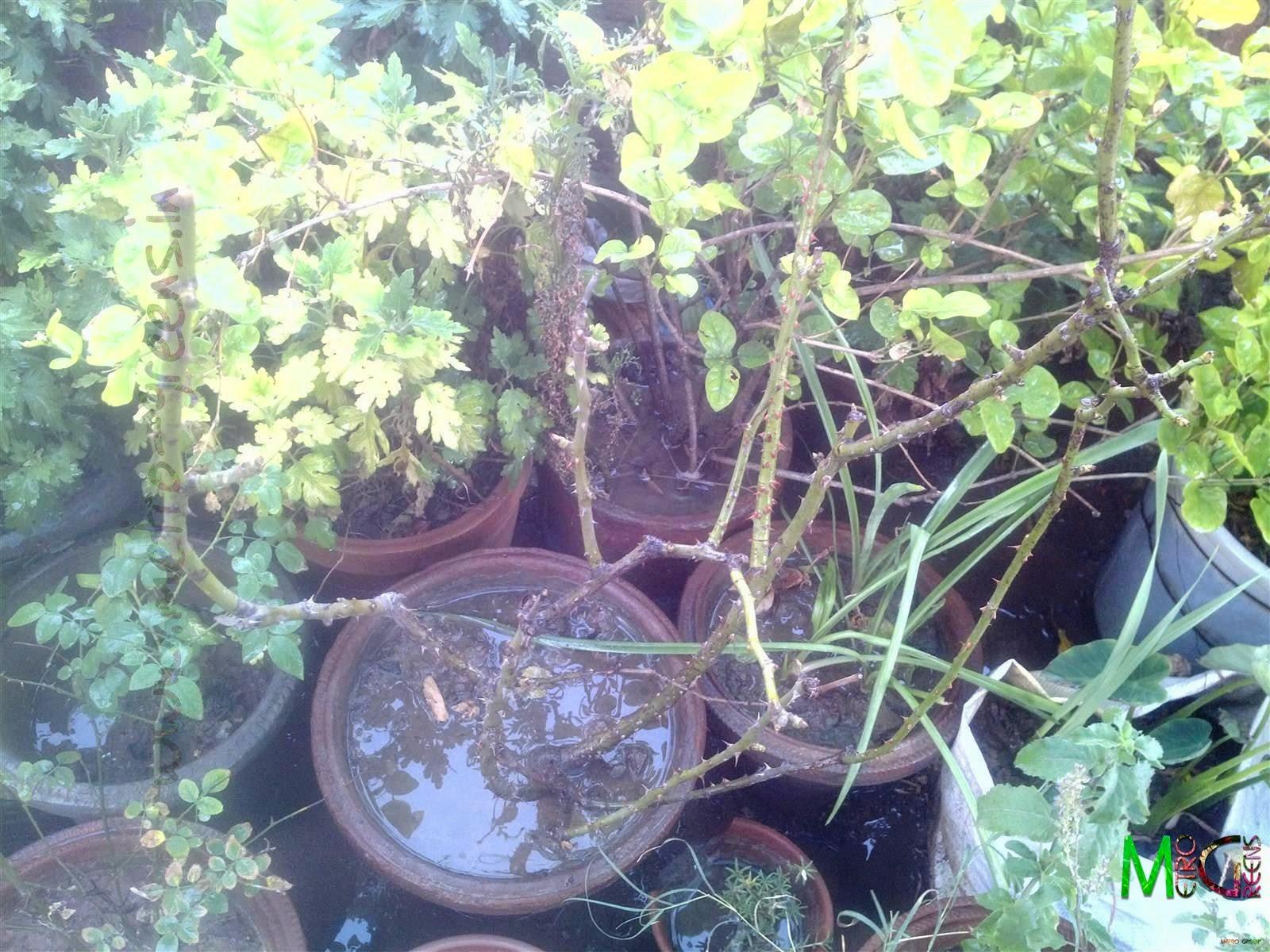 Metro Greens: Leafless Orange Rose Plant