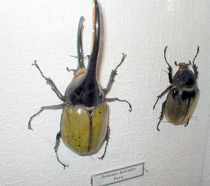 REAL Rhinoceros Beetle-Male and Female