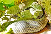Cobra  grande atemoriza