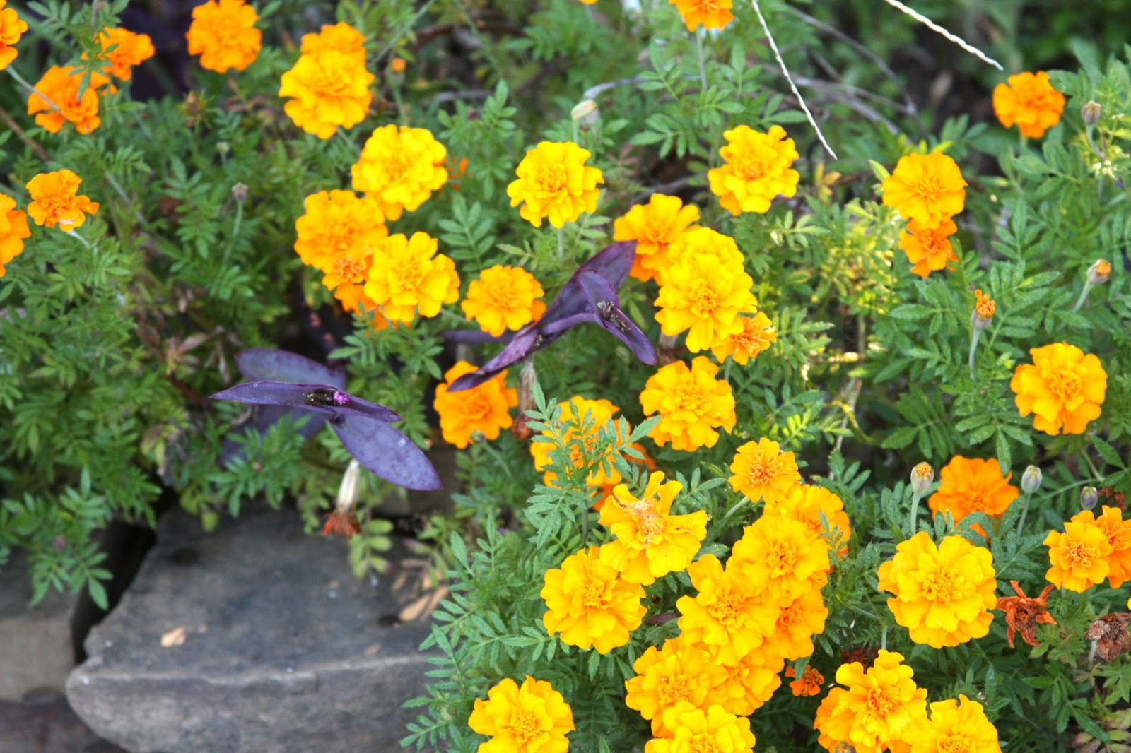 Giant Orange Marigold Flowers
