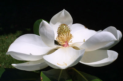 Beautifull Magnolia Flower Picture