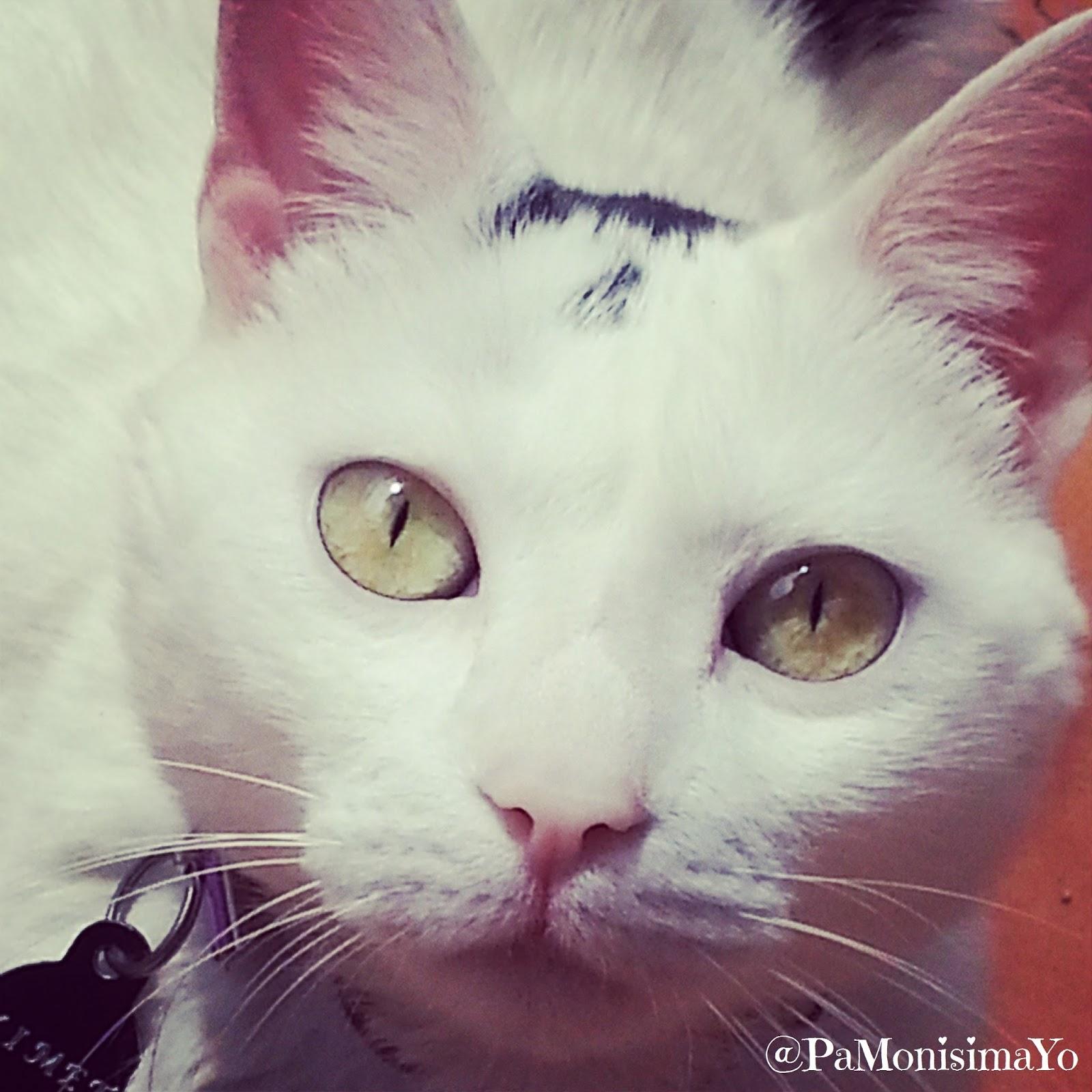 Ximet gato cat @pamonisimayo