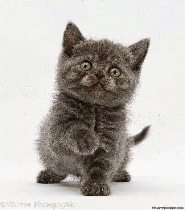 Photo chaton gris adorable