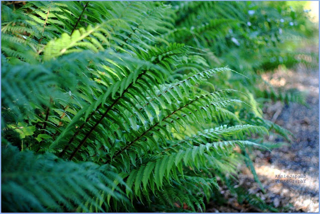 ferns, green,  Summer light © Annie Japaud Photography 2013