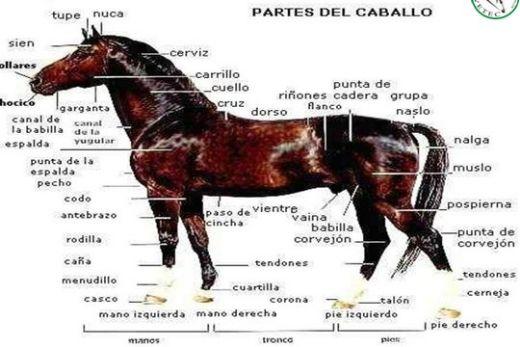 Veterinaria Del Perro y Del gato: ANATOMIA DEL CABALLO EXTERIOR E ...