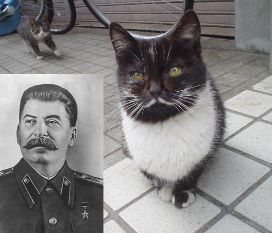Кот похожий на Сталина