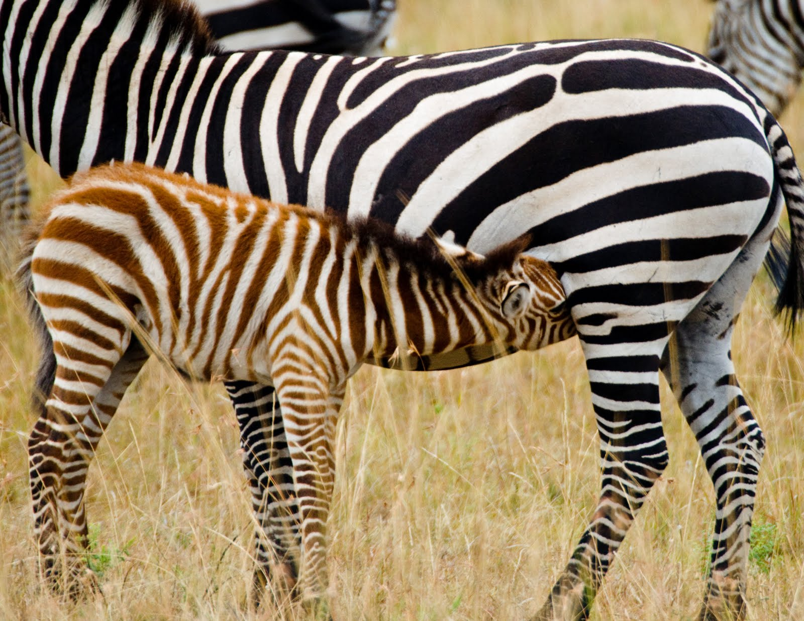 the baby zebra free national geographic pix. Black Bedroom Furniture Sets. Home Design Ideas
