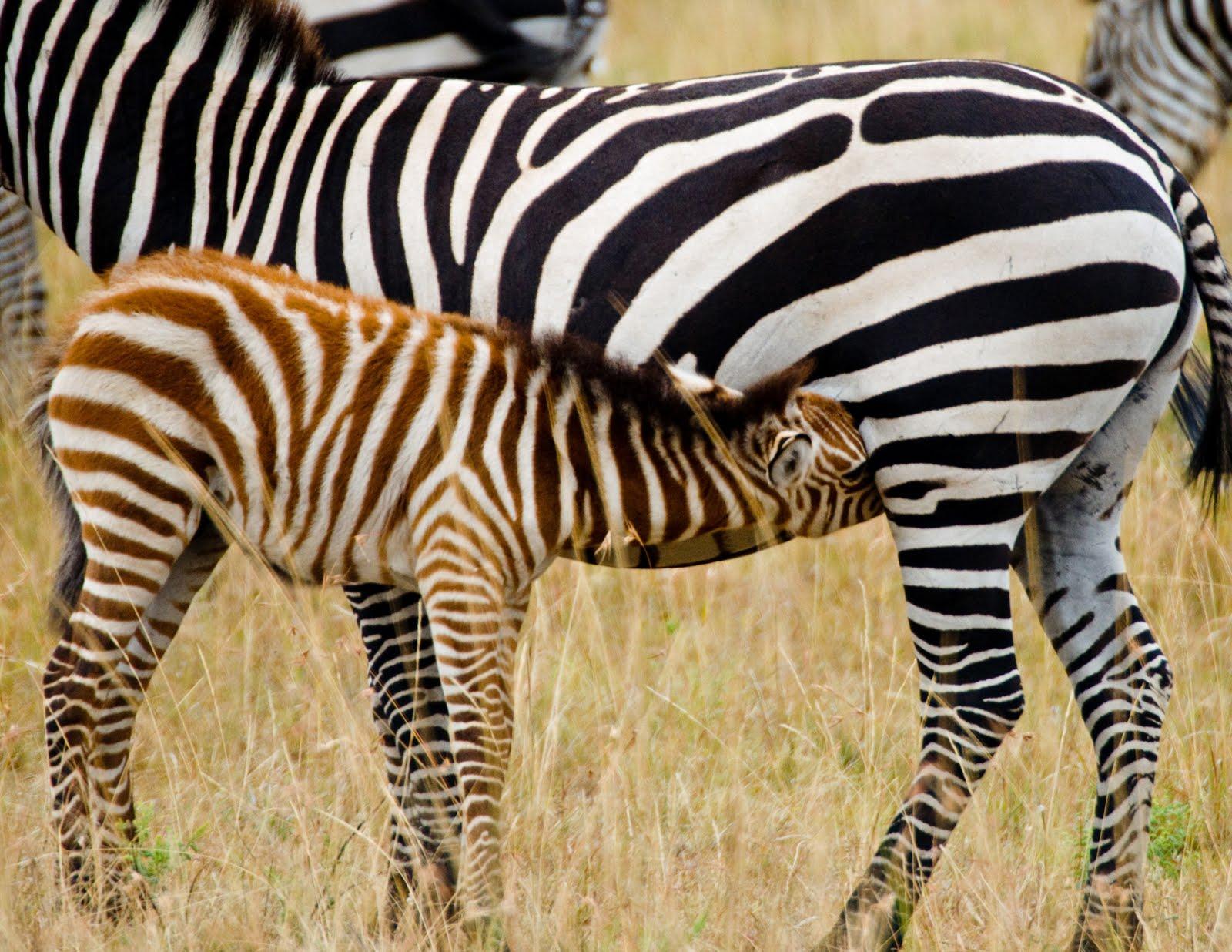 Baby Zebras In Africa The Baby Zebra ...